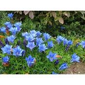 Gentiana sino-ornata diepblauw