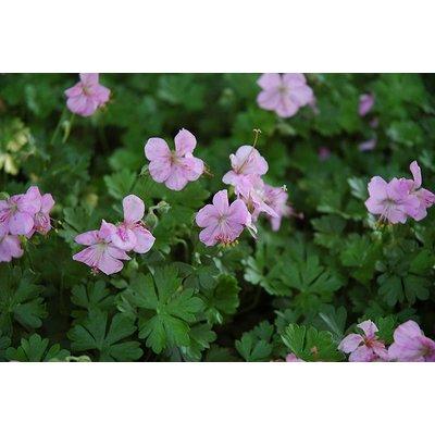 Geranium dalmaticum roze