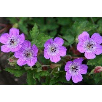 Geranium wal. 'Sylvia's Surprise'