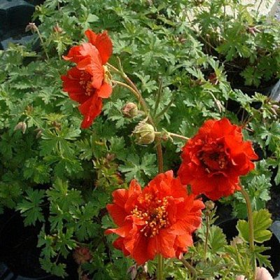 Geum chi. 'Mrs Bradshaw' rood
