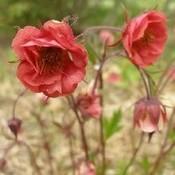 Geum riv. 'Leonard's Variety'roze