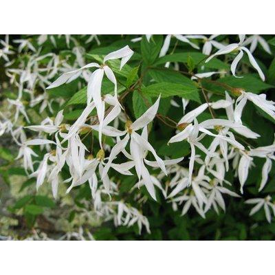 Gillenia trifoliata wit