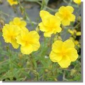 Helianthemum 'Yellow Queen'goudgeel
