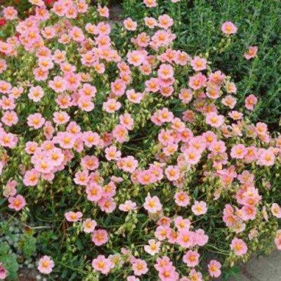 Helianthemum 'Lawrenson's Pink'roze