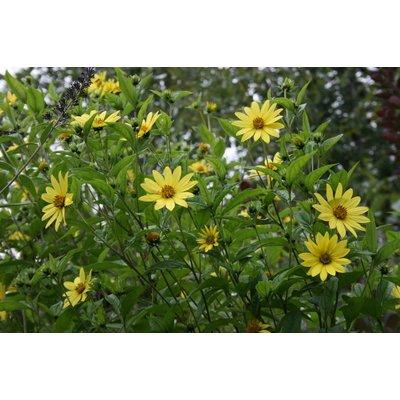 Helianthus 'Lemon Queen' lgeel