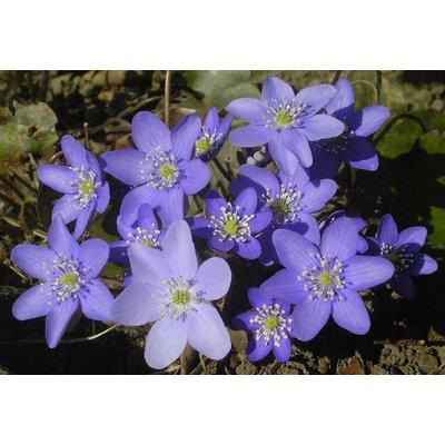 Hepatica nobilis violblauw