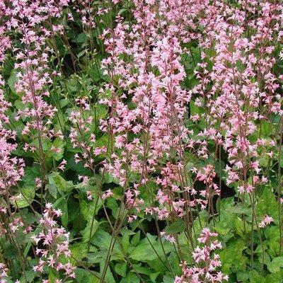 Heucherella a. 'Bridget Bloom' roze
