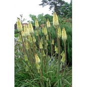 Kniphofia 'Little Maid' lgeel