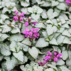 Lamium mac. 'Beacon Silver' lila