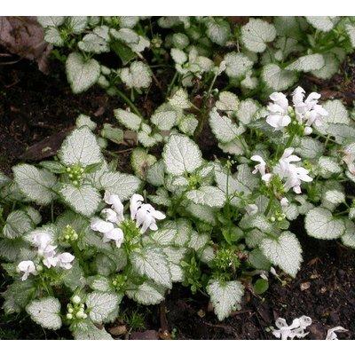 Lamium mac. 'White Nancy' wit