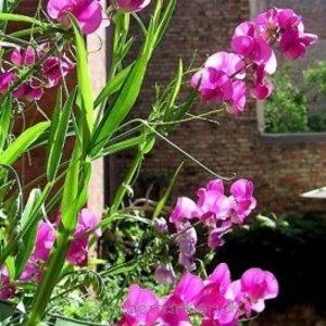 Lathyrus lat. 'Pink Pearl'roz