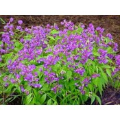 Lathyrus vernus violet