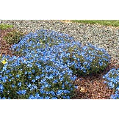 Lithodora d. 'Heavenly Blue'helblau