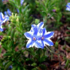 Lithodora d. 'Star' blauw+wit