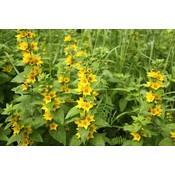 Lysimachia pun. 'Senior' geel