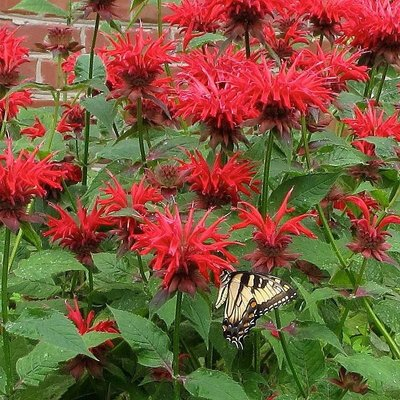 Monarda 'Cambridge Scarlet' rood