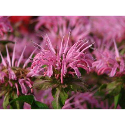 Monarda 'Croftway Pink' helderroze