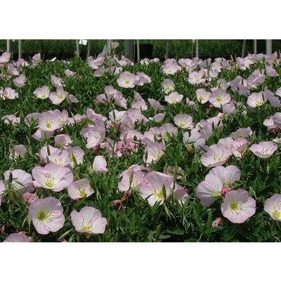 Oenothera spe. 'Siskyou' z.roze
