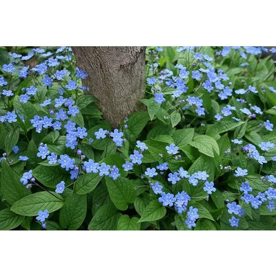 Omphalodes verna blauw+wit oogje