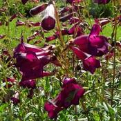 Penstemon 'Rich Ruby' paarsrood