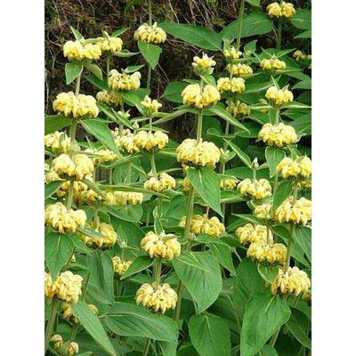 Phlomis russeliana geel