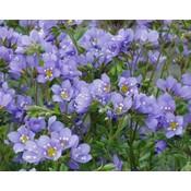 Polemonium r. 'Blue Pearl'violblauw