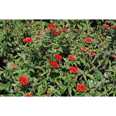 Potentilla 'Gibson's Scarlet' rood