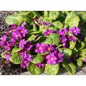 Primula (J) 'Wanda' violpurp