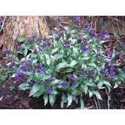 Pulmonaria longifolia blauw
