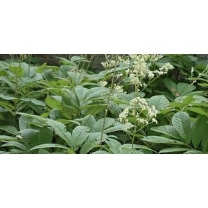Rodgersia sambucifolia wit