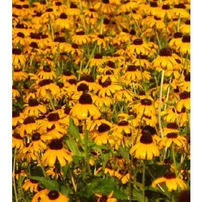 Rudbeckia ful. 'Goldsturm' geel