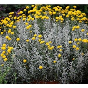 Santolina chamaecyparissus geel