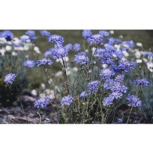 Scabiosa col. 'Butterfly Blue'lblau
