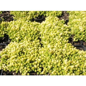 Sedum acre 'Yellow Queen' geel