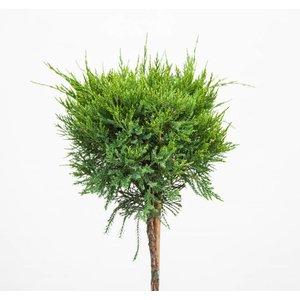 Juniperus med. 'Pfitzer. Compacta'