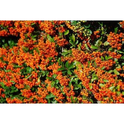Pyracantha Orange Charmer