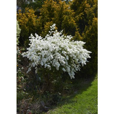 Exochorda 'The Bride' (Parelstruik) 100cm OUTLET