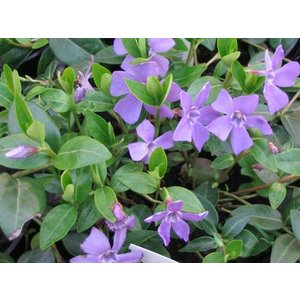 Vinca minor C2 OUTLET
