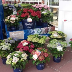 HORTENSIA MAGICAL