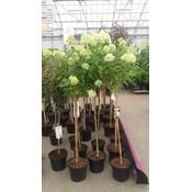 Hydrangea paniculata 'Limelight' op stam