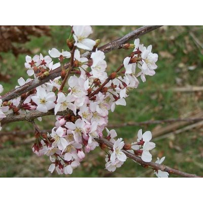 Prunus Cerasifera Nigra Rode Kerspruim