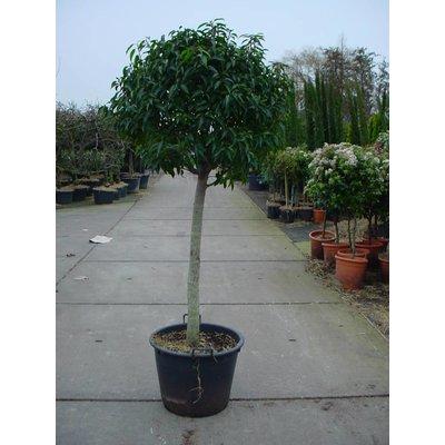 Prunus Lusitanica op stam