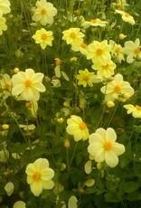4 stuks Yellow Sneezy
