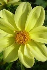4 stuks Yellow Sneezy Levering vanaf december