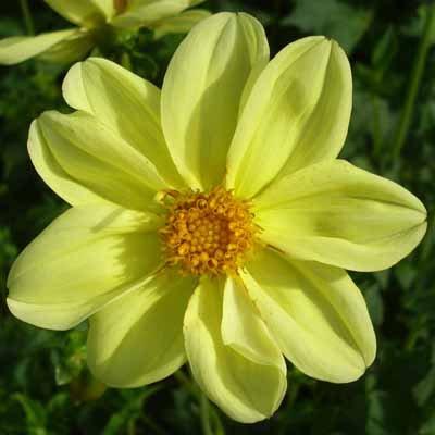 4 stuks Yellow Sneezy Leverbaar vanaf december
