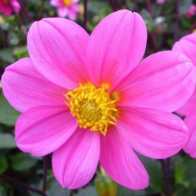 4 stuks Topmix Roze Levering vanaf december