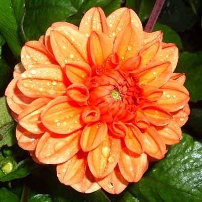4 stuks Orange Nugget Levering vanaf december