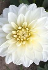 4 Stück White Onesta