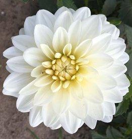5 Stück White Onesta