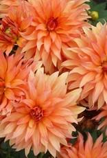 4 stuks Autumn Fairy Levering vanaf december